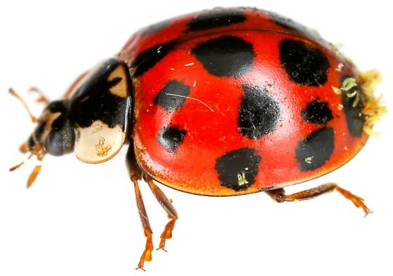 Multicolored Asian Lady Beetle? - Harmonia axyridis
