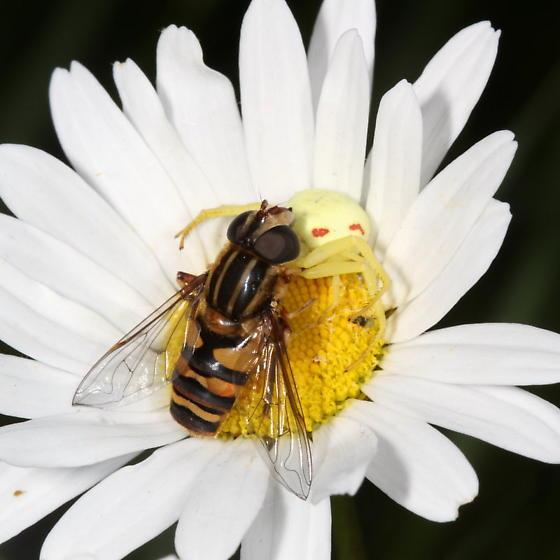 Syrphidae - Helophilus fasciatus