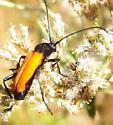 Beetle 100816nick - Tragidion coquus