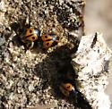 Darkling Beetles - Diaperis maculata