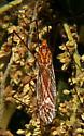 Crane Fly - Nephrotoma wulpiana