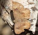 Calephelis nemesis? - Calephelis nemesis - female