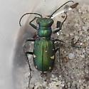 Festive Tiger Beetle - Cicindela scutellaris - male