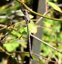 California Spreadwing - Archilestes californica - female