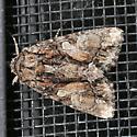 Moth - Oligia divesta