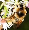 Bombus rufocinctus - Red-belted Bumble Bee - Bombus rufocinctus