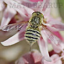 Bee Fly??? - Neorhynchocephalus sackenii