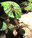 Tanyptera dorsalis mating pair - Tanyptera dorsalis - male - female