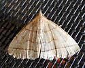 8351 – Zanclognatha cruralis – Early Zanclognatha - Zanclognatha cruralis