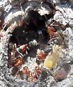 Ant - Camponotus vicinus