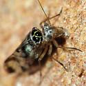 Psocid - Metylophorus novaescotiae