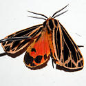 Tiger Moth - Grammia parthenice