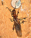 Ant queen - Camponotus fragilis