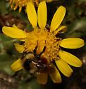 Bumblebee - Bombus sylvicola - female