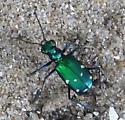 Six-spotted Tiger Beetle ? - Cicindela sexguttata