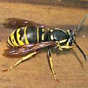 Vespula vidua - Queen - Vespula vidua - female