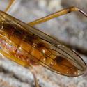 Unknown Fly - Compsobata univitta