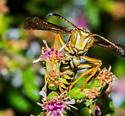 Another Polistes male - Polistes fuscatus - male