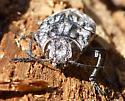 2 inch Beetle - Chalcophora angulicollis