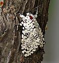 Cerura scitiscripta? - Lichnoptera decora
