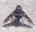 Giant Fly - Xenox tigrinus