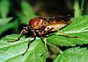 Big yellow Xylophagid - Coenomyia ferruginea