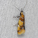 Orange Headed Epicallima - Epicallima argenticinctella
