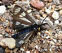 Gnophaela sp. - Gnophaela aequinoctialis