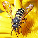 Small Wasp Like  Bee? - Dianthidium