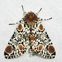 Harris's Three Spot  - Harrisimemna trisignata