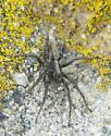 Spider ID - Alopecosa