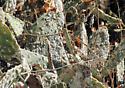 Cochineal Habitat - Dactylopius