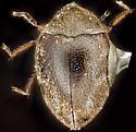 Beetle, dorsal - Limnichoderus naviculatus