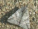 Moth #07-13 - Litocala sexsignata