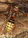 Wasp ID Request - Which species? - Vespa crabro