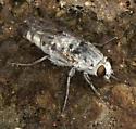 Apio from mouth of Nine-Mile Canyon - Apiocera - female
