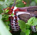 Cecropia Moth - Hyalophora cecropia - female