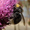 Black Bumble Bee with a little yellow - Bombus occidentalis