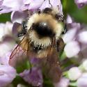 Unknown Bee - Bombus rufocinctus