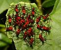 Unknown Red Bugs - Leptoglossus