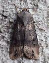 Noctuidae: Agrotis ipsilon? - Agrotis ipsilon