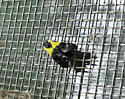 Tiny Yellow and Black Moth - Rectiostoma xanthobasis