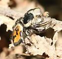 Salticid - Phidippus insignarius - male