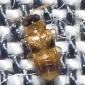 Rove Beetle - Phanerota
