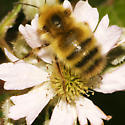 Bombus species - Bombus - male