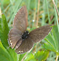 Eastern tailed blue - Cupido comyntas - female