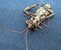 Acanthocephala declivis rescued from a Cat-Faced Spider (Araneus gemmoides) - Acanthocephala declivis