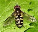 Syrphid - Dasysyrphus osburni - male