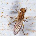 Heleomyzidae Perhaps? - Opomyza