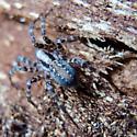 Agelenidae? Blue
